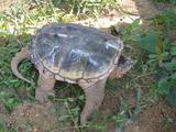 供应鳄龟种龟